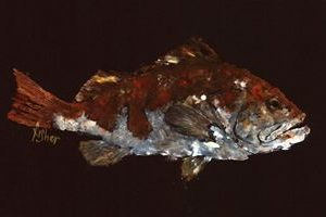 Night Watch – Red Grouper